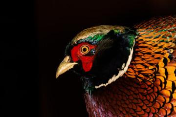 Faisán común , foto detalle del perfil con colores rojos azules, verdes en un fondo negro.