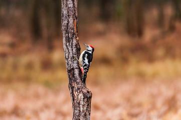 Fototapeta Dzięcioł średni na pniu drzewa obraz