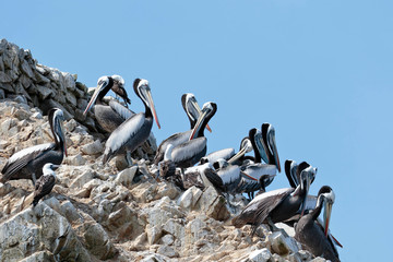 PERUVIAN PELICAN (Pelecanus thagus), pelicans perched on rocks in the Ballestas Islands, in Paracas. Lima Peru