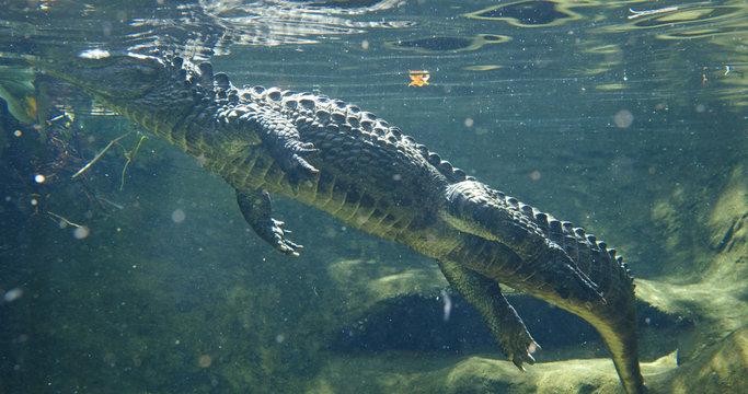 Alligator swim at water tank