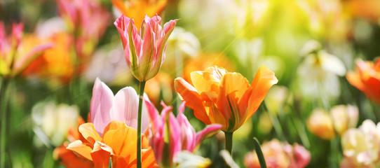 Poster Tulp Tulpen in roten und gelben Farben und Mustern