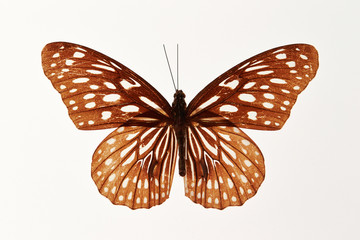 Butterfly specimen on white background