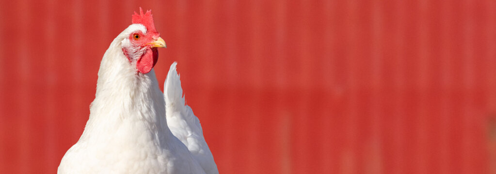 A close up of an adult (Rhode Island White) hen chicken against a red barn