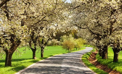 road and alley of flowering cherry trees
