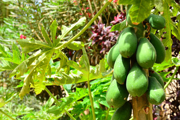 A closeup of a green pawpaw tree and its pawpaw fruits, detail,