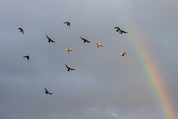 pigeons fly against the sky and rainbow