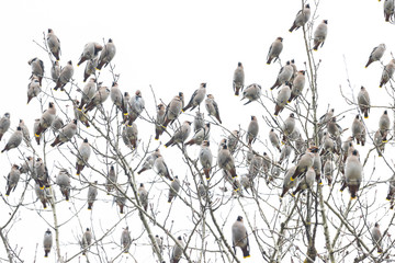 waxwings sit on top of a tree