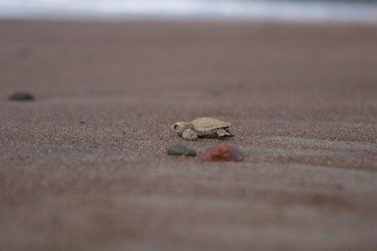 Baby  sea turtle Lora Costa Rica