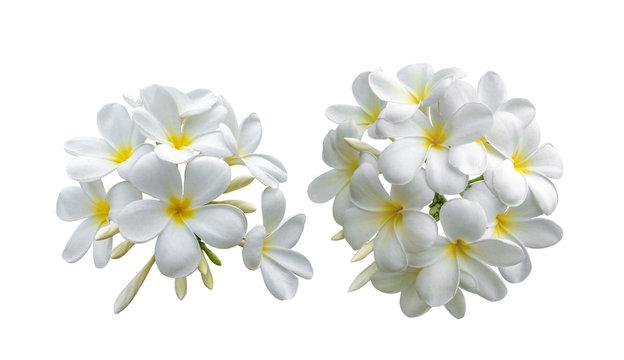 Tropical flowers frangipani (plumeria) on white background