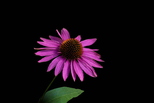 Narrow-leaved purple coneflower or Echinacea angustifolia or Blacksamson echinacea bright purple perennial flower, isoalted on black background