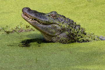 Closeup of the head of crocodile in green water