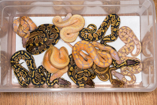 A clutch of baby Ball Pythons