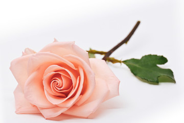 single orange rose flower blossom isolated on white background