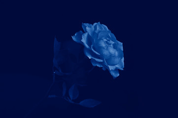 Beautiful rose flower in blue fashionable color, side view. Color concept of the year, classic blue background. Trend 2020, the layout for the design.Patterns of roses.Flowers for women. Copy space.