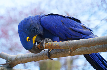 close up on the hyacinth macaw parrot