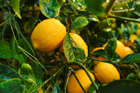 A view of several meyer lemons growing on a tree, featuring water droplets.