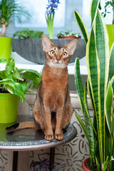 Abyssinian cat sits in a home flower garden and looks at the camera, vertical