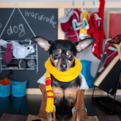 Nothing to wear concept , Portrait of a cute dog with a wardrobe with clothes