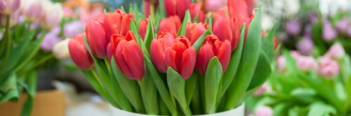 Banner Spring flowers  elegant red  tulips., Hello Spring and  Woman day concepts