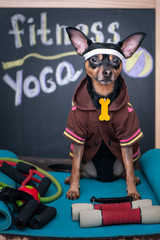 Pet Fitness , sport  and lifestyle concept.  Funny dog in sportswear in training, portrait  in studio surrounded by sports equipment
