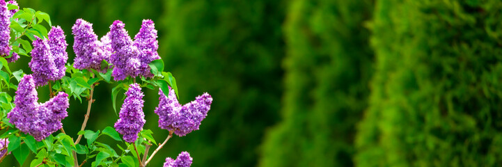 Photo sur Aluminium Lilac Purple lilac flowers with green thujas in garden