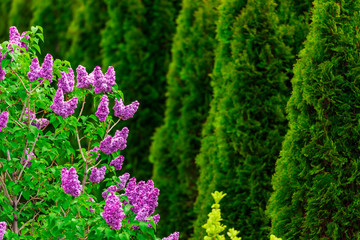 Wall Murals Lilac Purple lilac flowers with green thujas in garden