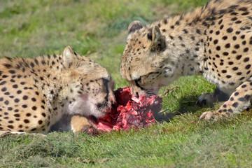 Southern cheetahs, Acinonyx jubatus jubatus