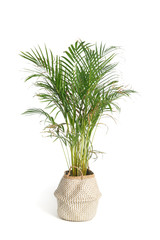 Fototapeta Palm tree with cirrus leaves in a decorative pot Isolated on a white background. obraz