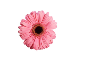 pink gerbera flower isolated on white background has clipping path