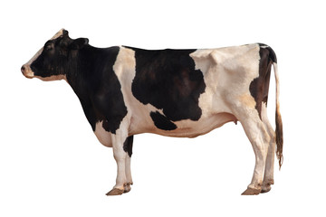 Black and white cow image  isolated on the white background.