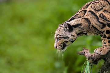 Clouded Leopard, Neofelis nebulosa, Himalayan foothills, India. listed as Vulnerable on the IUCN...