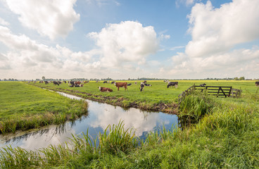 Typical Dutch polder landscape with grazing cows in the meadow and clouds reflected in the mirror smooth water surface of the ditch. The photo was taken near the village of Langerak, South Holland.