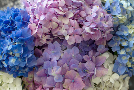 Background of Pink, Lilac, White and Blue Hydrangae Flowers as a background