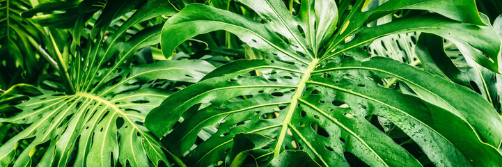 Photo sur Aluminium Vert Tropical plants panoramic banner background of green leaves of Monstera Deliciosa Swiss Cheese plant leaf texture.