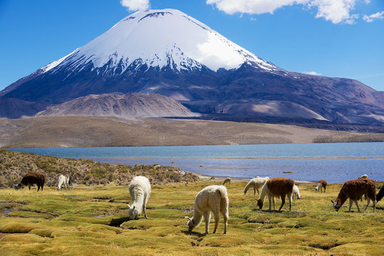 White alpacas (Vicugna pacos) graze at the Chungara lake shore at 3200 meters above sea level with Parinacota volcano at the background in Lauca National park near Putre, Chile.