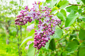 Wet lilac flowers, close-up photo of flowering plant