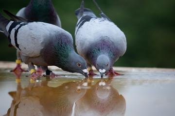 two homing pigeon brid drinking water on roof floor