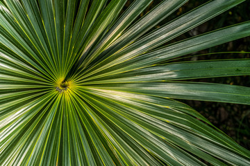 A closeup photo of vibrant green palm leaves (Coccothrinax miraguama) with room for text