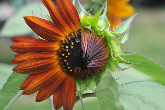 Sunflower blooming in summer