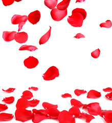 Fresh red rose petals on white background