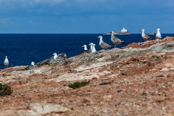 Colony of seagulls on the rocky coast of cape Cabo de Palos, Murcia, Spain