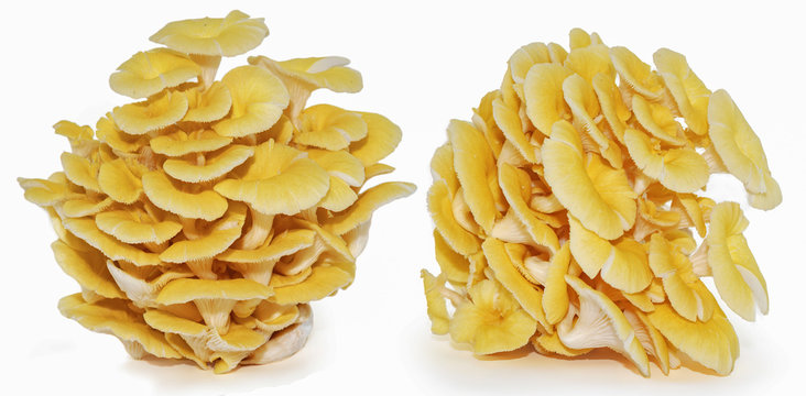 Yellow oyster mushroom isolated on white background