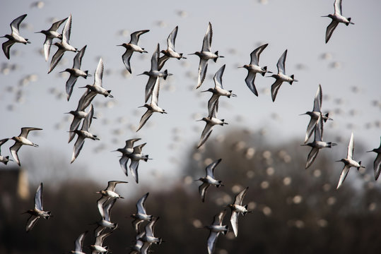 Bar-tailed Godwits in fly. Their Latin name are Limosa lapponica.
