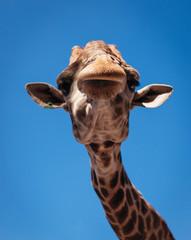 Poster Giraffe portrait of giraffe