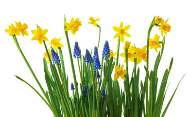 Spoed Fotobehang Narcis Daffodil and muscari flowers on white background.
