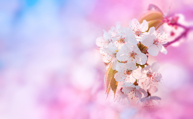 Türaufkleber Flieder Beautiful branch of blossoming cherry on pink and blue background. Artistic nature landscape of spring flowers.