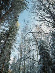 Trees covered with snow on frosty evening