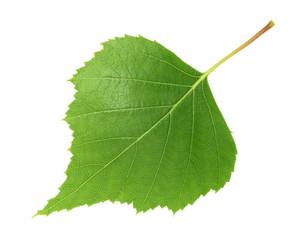 Birch leaf isolated white background
