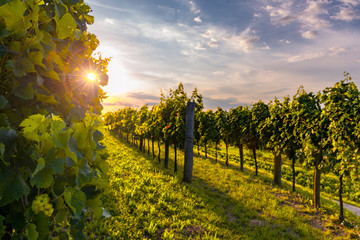 Photo sur Plexiglas Vignoble Beautiful vineyards of Vipava valley, Slovenia at the sunset.