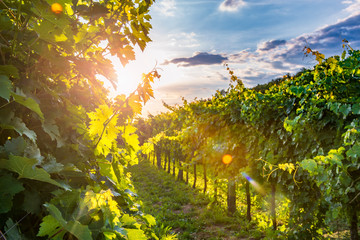 Canvas Prints Vineyard Sunny vineyard in Vipav
